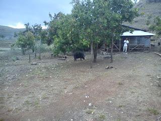 babi di pedalaman sumba timur