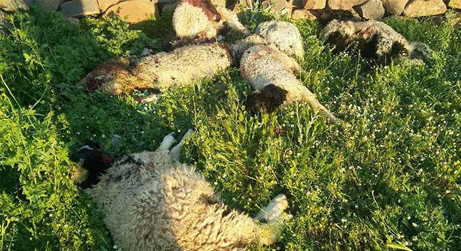 Çermik Gürüz Mahallesinde aç kurtlar 6 kuzuyu telef etti