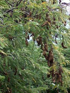 imli(Tamarindus Indica  )
