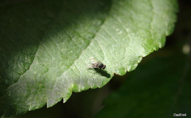 Mouche sur une feuille de pommier