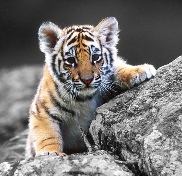 tigerke bache  ka photo chahie