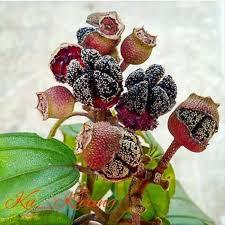 buah bunga  senggani Melastoma candidum