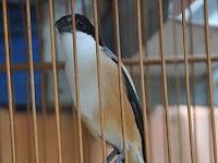 Perawatan Harian Burung Cendet Jawara