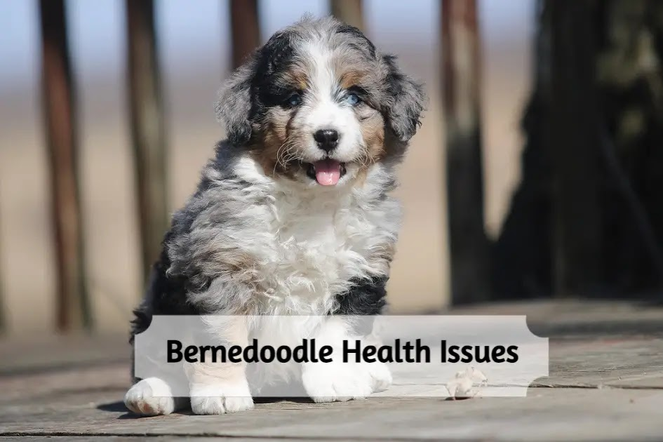 bernedoodle-health-issues