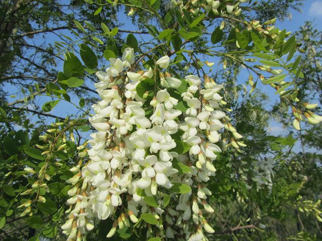 Fiori Robinia pseudoacacia