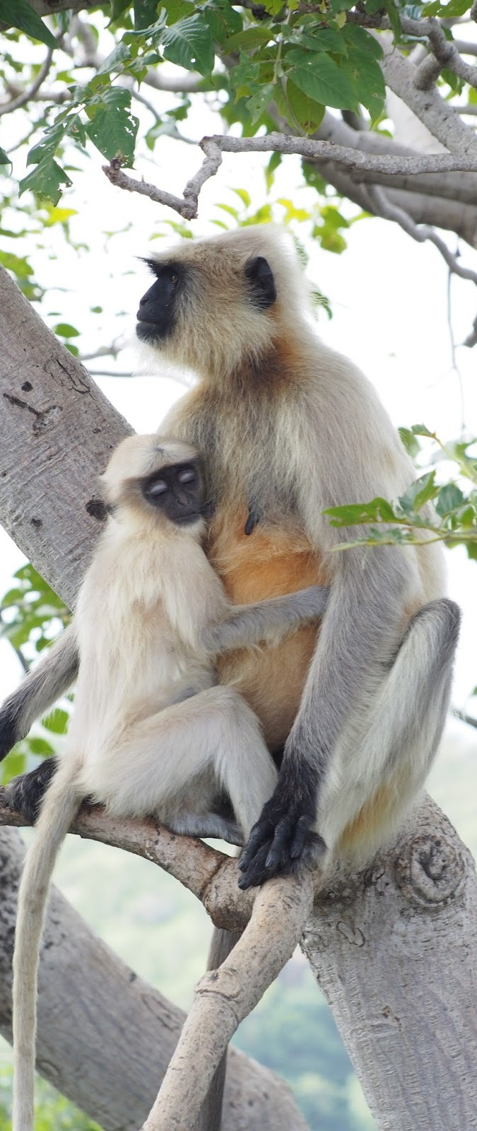 Monkey baby with mother.
