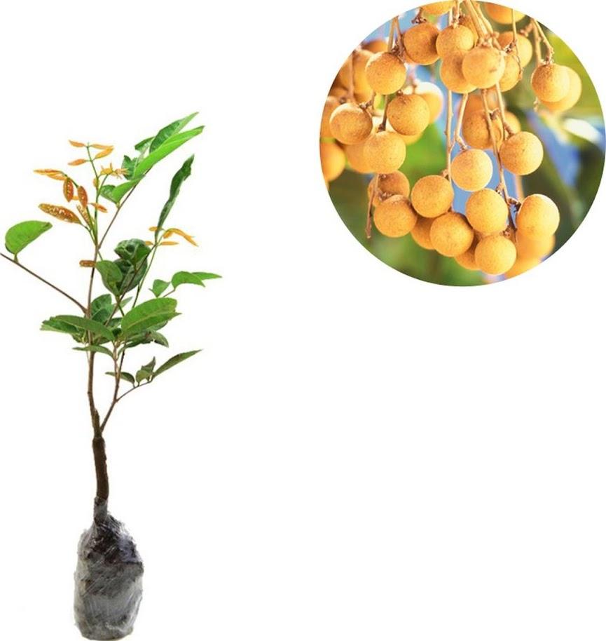 Bibit Tanaman Buah Kelengkeng Aroma Durian Jawa Timur