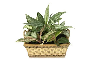 Aglaonema laris di bisnis tanaman