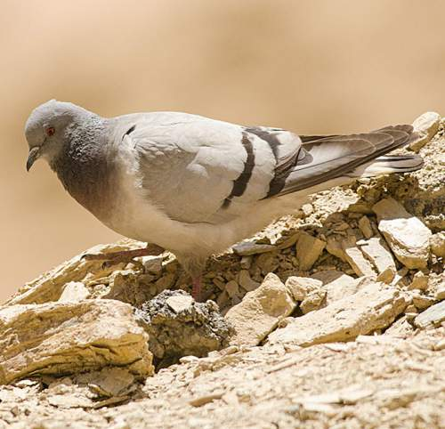 Birds of India - Hill pigeon, Columba rupestris