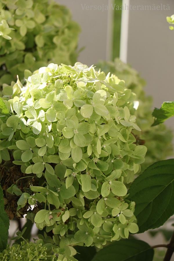 Limea syksyyn, Huiskula