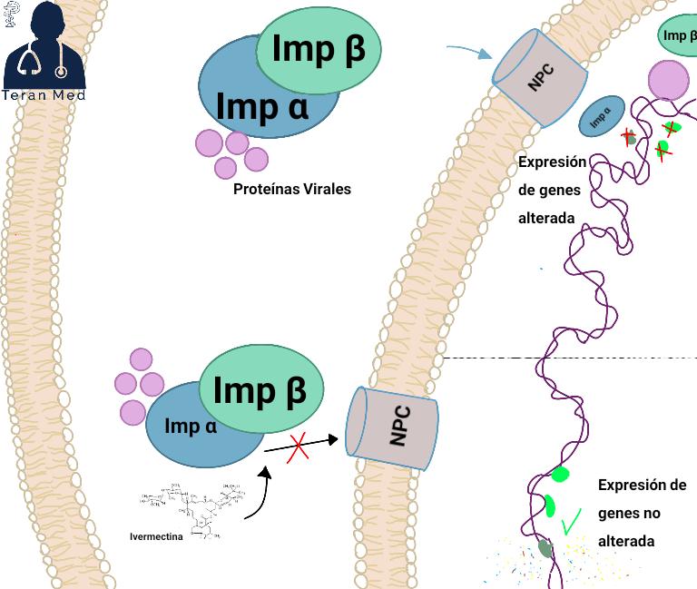 mecanismo de accion de la ivermectina en el covid19 inhibe la importina alfa/beta-1 inhibiendo el transporte a través de las nucleoporinas
