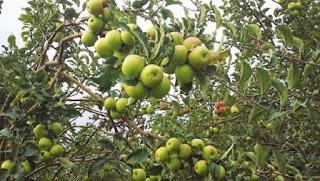 Efek Samping Mengkonsumsi Cuka Apel