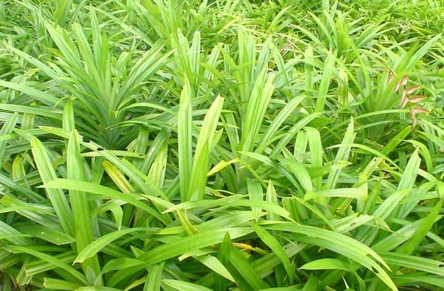 daun pandan sebagai cara mengatasi rambut rontok secara alami