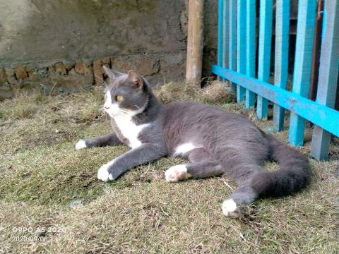 Harga kucing Persia medium satu tahun