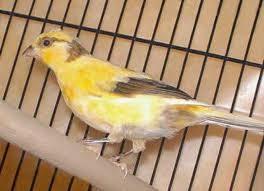 Mungkin sahabat kicaukan ada yang belum mengetahui american singer canary AMERICAN SINGER CANARY, KENARI INDAH DAN MERDU