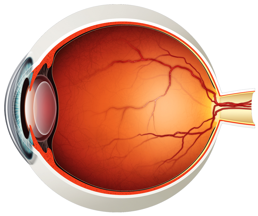 hight resolution of human eye diagram without labels photo 19