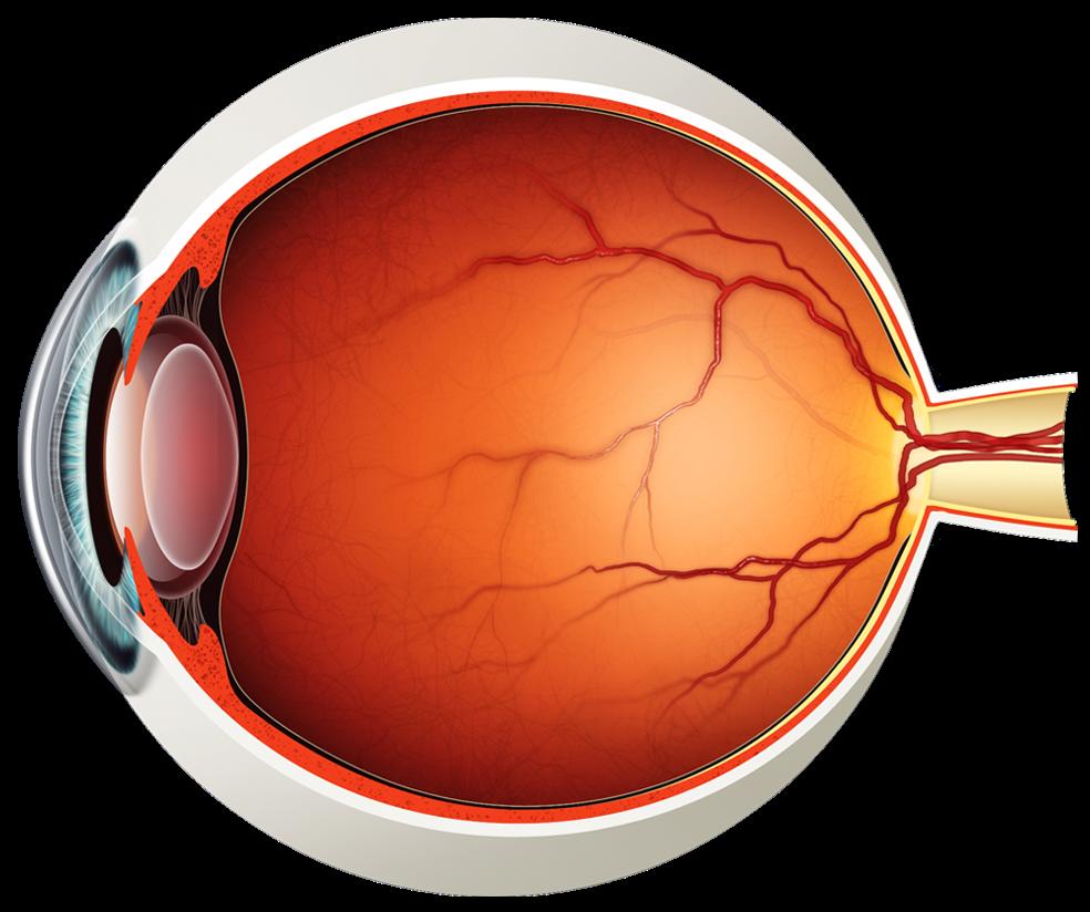 human eye diagram without labels photo 19 [ 984 x 824 Pixel ]
