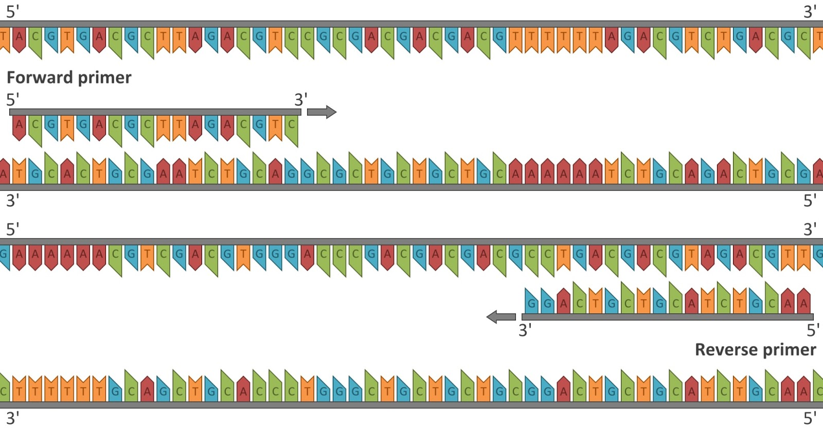 Polymerase Chain Reaction Diagram Household Light Switch Wiring Calculated Images Need To Teach Pcr