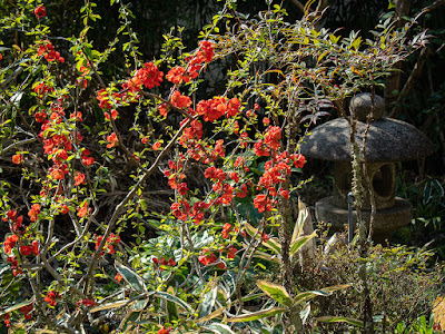 Boke (Chaenomeles speciosa) flowers: Engaku-ji