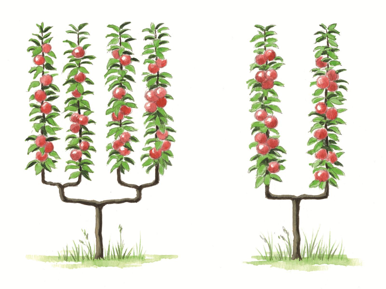 arbre fruitier palissé