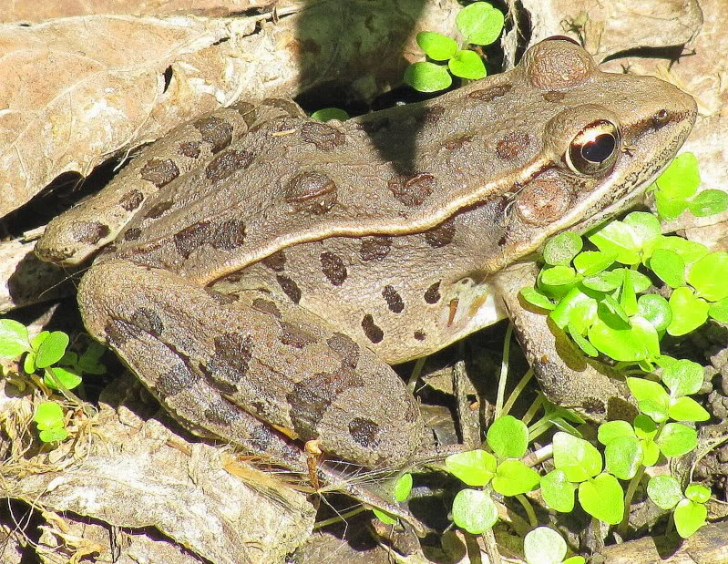 Southern Leopard Frog Natural History