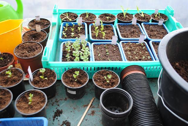 Külvatud taimed kasvuhoones