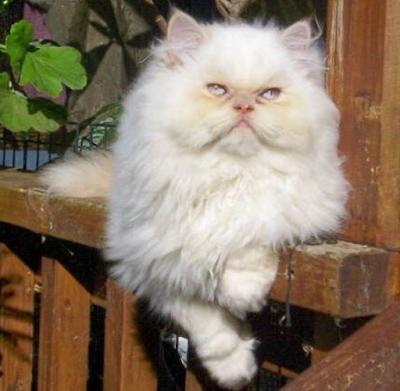 Jenis Ras Kucing Nepalayan