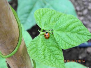 Φασόλια σπορά φύτεμα καλλιέργεια