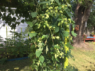 Green hops draping from the arbor