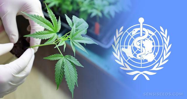 الأمم المتحدة تخفض تصنيف الزطلة وخام القنب إلى فئة المخدرات الأقل خطورة