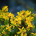 Can St. John's Wort Benefit Your Health?