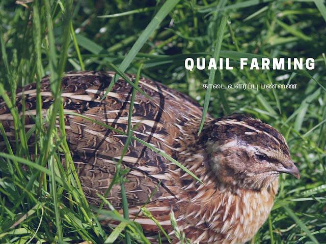 Quail Farming, காடை வளர்ப்பு பண்ணை, Kadai Valarpu Pannai