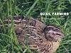 Quail Farming | காடை வளர்ப்பு பண்ணை | Kadai Valarpu Pannai