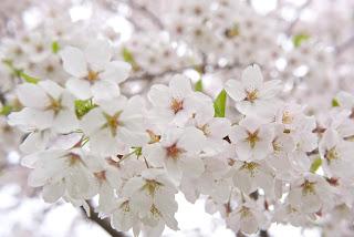 Sakura japan cherry blossom - цветение сакуры