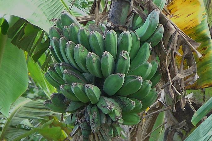 Dlium Cavendish banana (Musa acuminata)