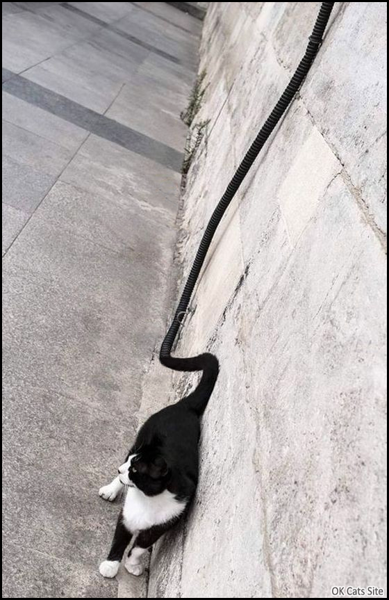 Photoshopped Cat picture • Woah! The Longest Cat Tail We've Ever Seen!!! [ok-cats-site.com]