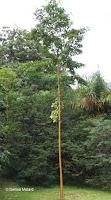 Yellow bark eucalyptus - Ho'omaluhia Botanical Garden, Kaneohe, HI