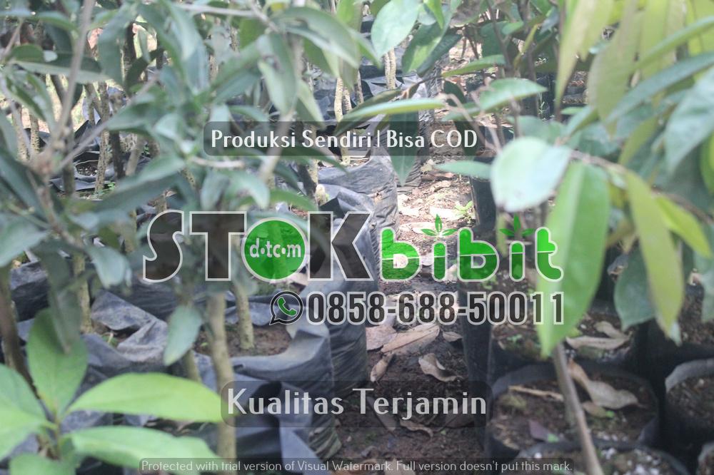 Jual Bibit Jambu Madu Deli | Bibit Jambu Madu Deli Hijau | Harga Bibit Jambu Air Madu Super Green     terjamin       Lengkap