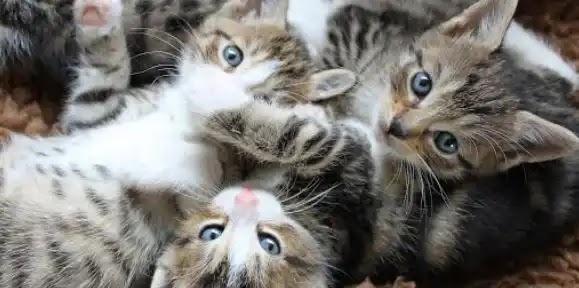 انواع القطط كل تريد معرفته