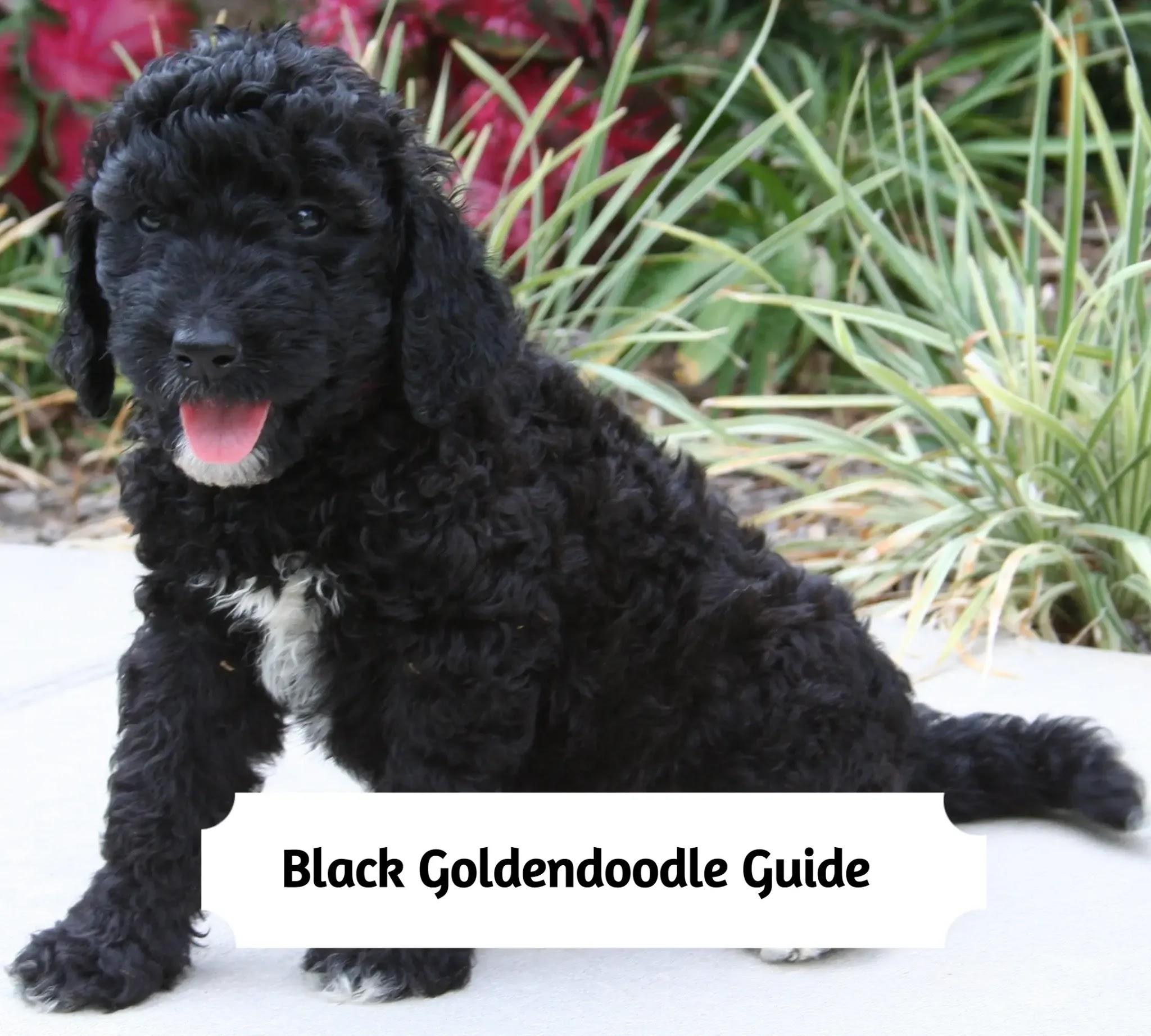 Black-Goldendoodle-Guide