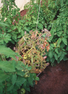A tomato plant exhibiting yellow, deformity and stunting caused by a virus.