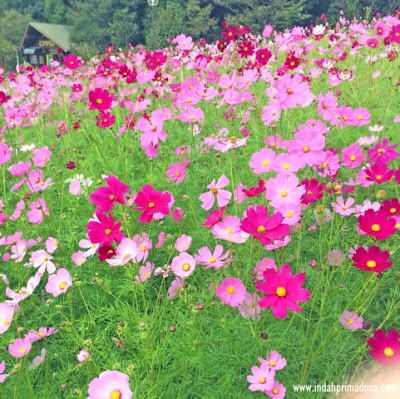 cosmos flower, festival cosmos, bunga cosmos