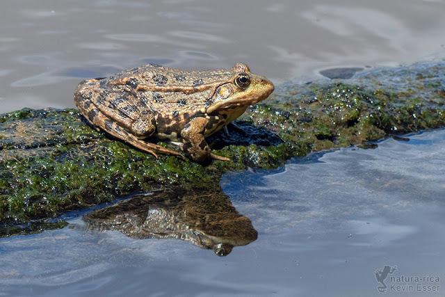 Pelophylax ridibundus - Marsh Frog