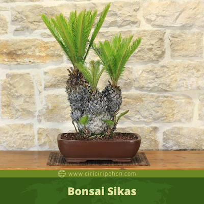 Bonsai Sikas