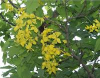 Trengguli (Cassia fistula L.)