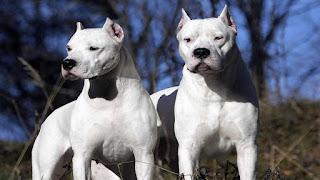 Due cani di razza Dogo Argentino sbranano un bimbo a Catania