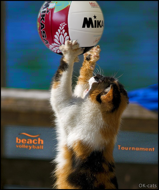 Photoshopped Cat picture • When your amazing cat enjoys playing beach volley tournament during summer