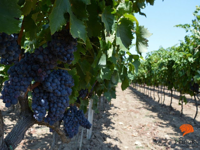 negroamaro and primitivo grapes of Puglia