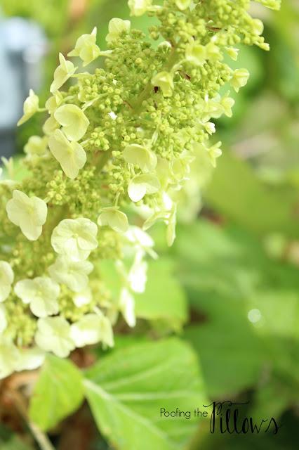 oak leaf hydrangea, Oak Leaf Hydrangea, perennial
