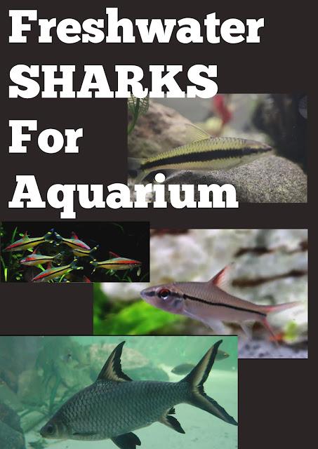 freshwater sharks for aquarium